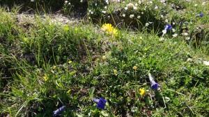 Enzian und viele andere Blumen